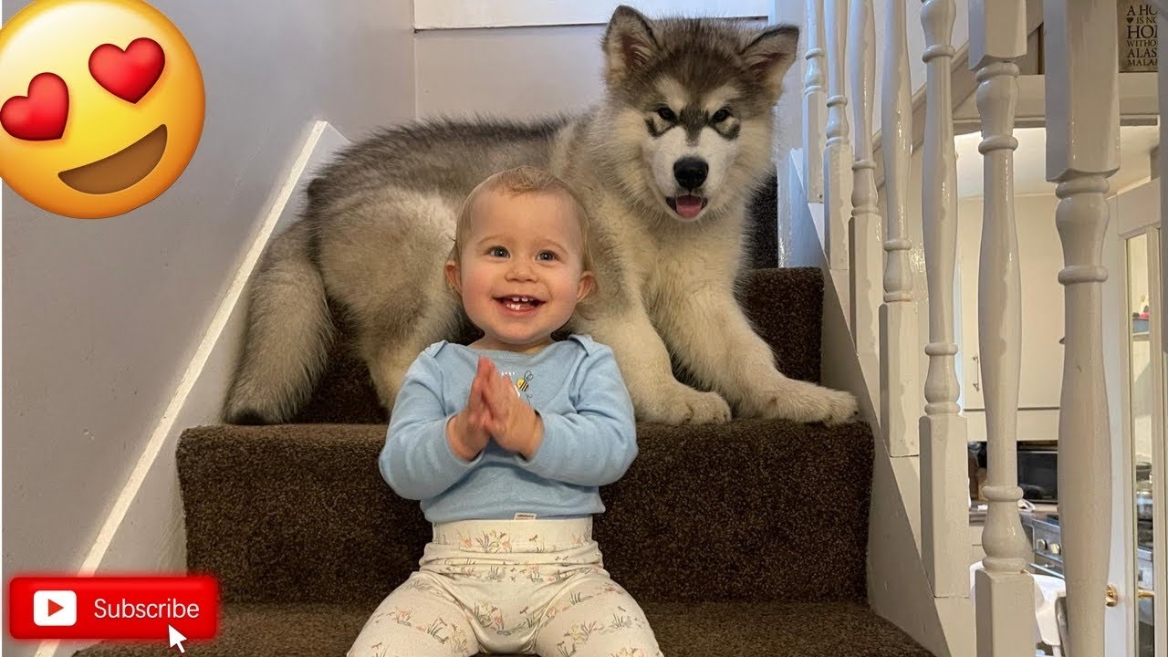 Malamute Pup And Baby Climbing Stairs Cutest Combo Youtube Alaskan malamute puppies 6 weeks old. malamute pup and baby climbing stairs cutest combo