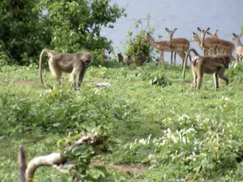 Baboons and a Herd of Impala along Chobe River - Botswana
