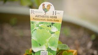The Garden Gurus - What is Gotu Kola Pennywort A Pharmacy in One Herb
