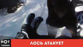 Атака лося. Злой лось зарядил копытами в грудь... ( HOT VIDEOS | Смотреть видео HD )