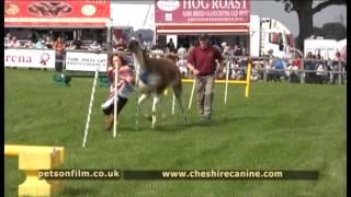 Cheshire Dog Display Team - Cheshire Llama Display Team Uk