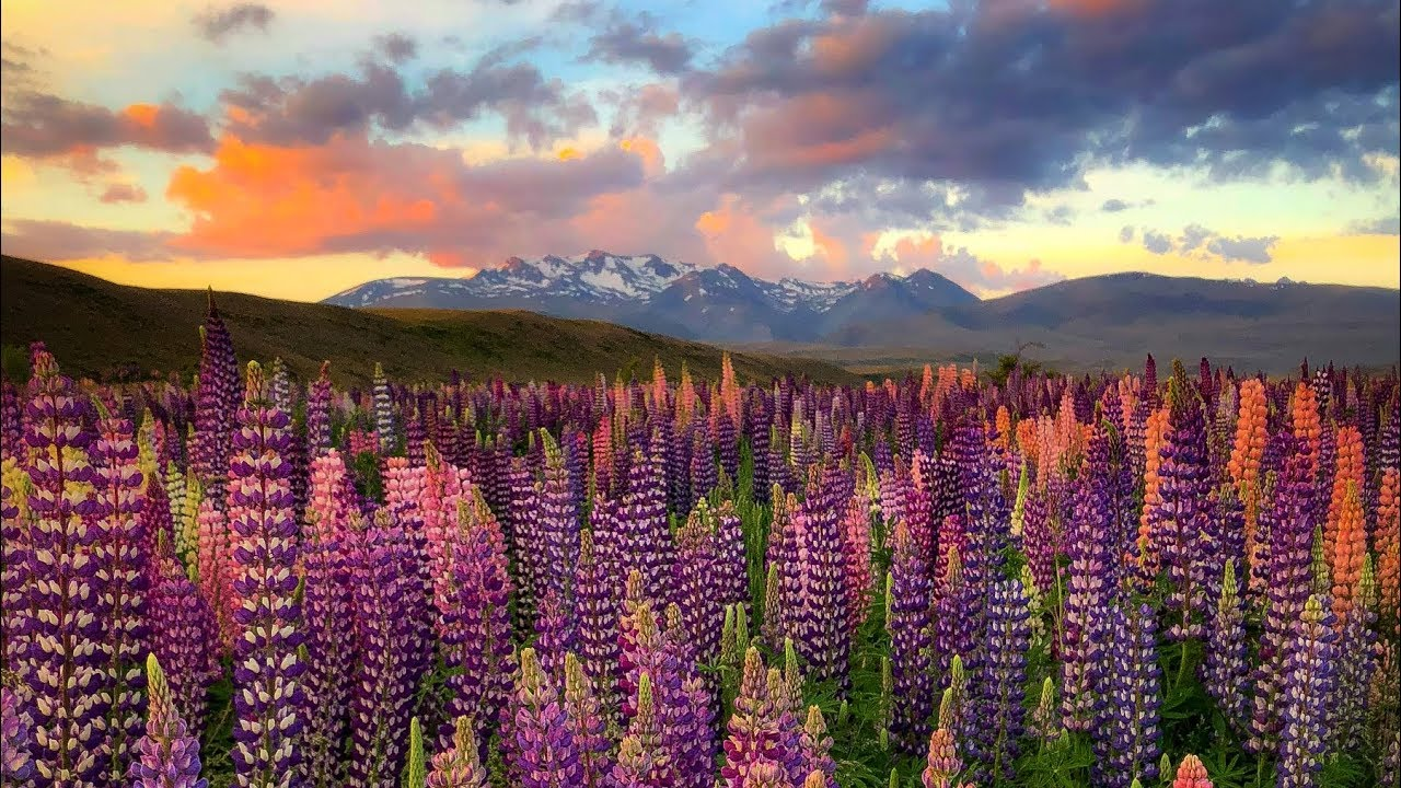 Landscape Photography New Zealand Lupins Flowers Youtube