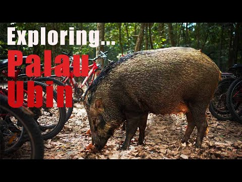 SINGAPORE: LOOKING FOR WILD BOARS ON AN ABANDONED ISLAND IN SINGAPORE?!?!?!?    5$ = TTS with Media