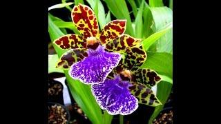 Zygopetalum orchid/ Орхидея Зиг.(This video is about Zygopotalum orchid В этом видео я расскажу как я ухаживаю за Орхидеей Зигопеталум (Зиг) Так же смотрите..., 2016-05-07T13:49:46.000Z)