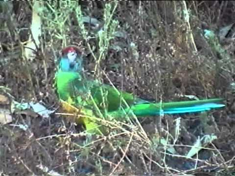 Galahs and Australian Ringneck Parrot-Flinders Ranges