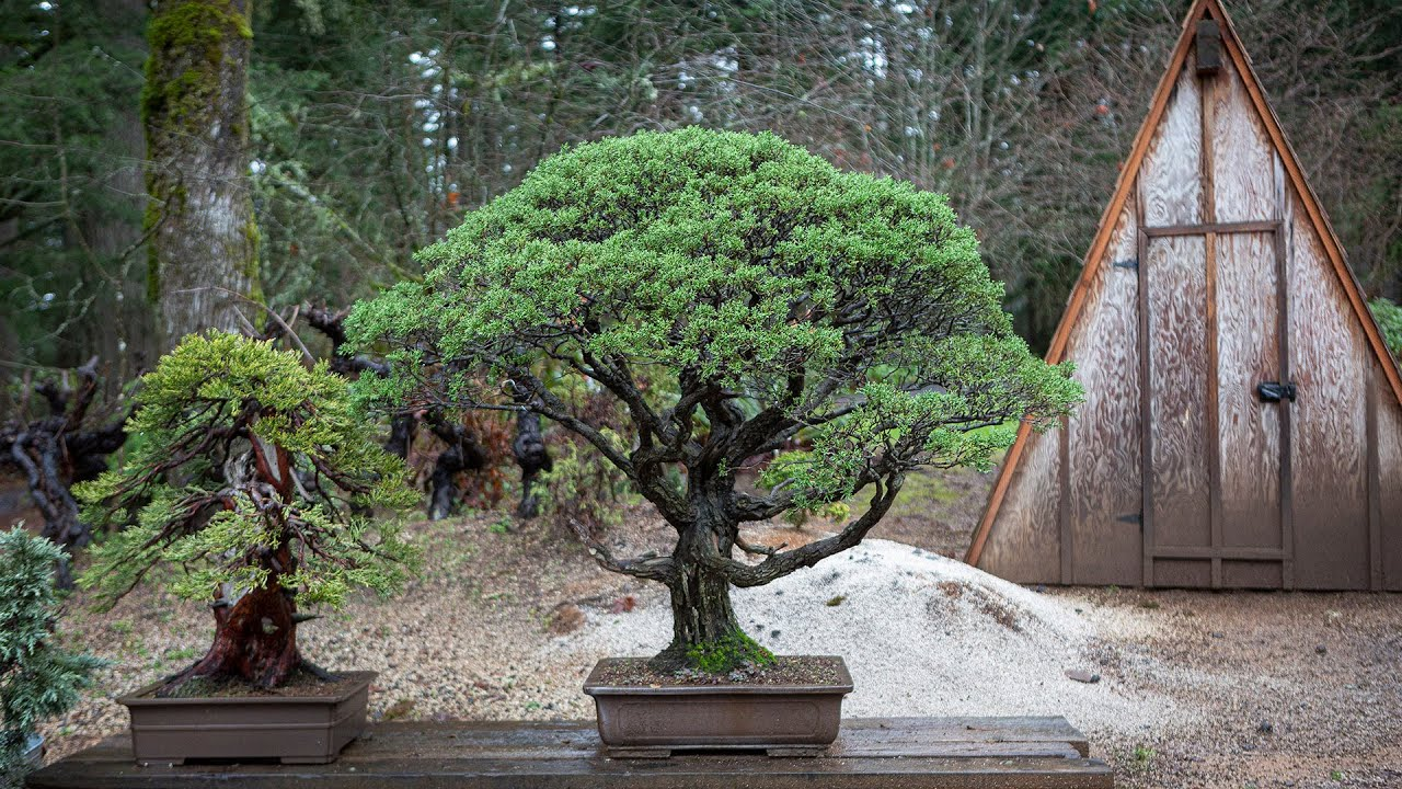 Repotting A Bonsai Monterey Cypress Youtube