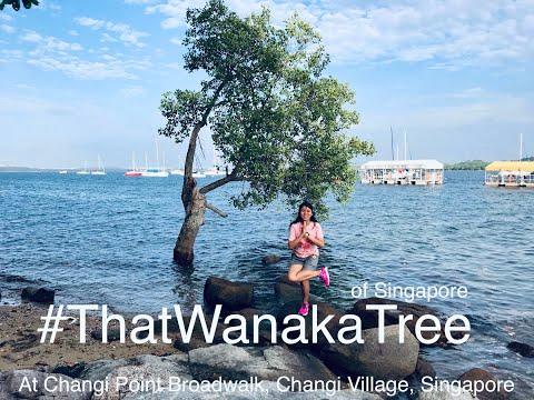 #ThatWanakaTree of Singapore at Changi Point Boardwalk, Changi Village, Singapore