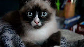 Кошка Сноу Шу смотрит передачу о львах - YouTube