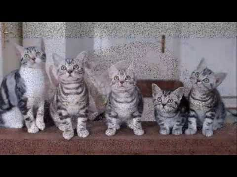 Cats American Shorthair.