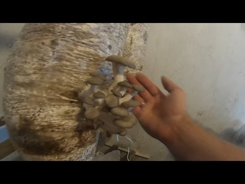 Шампиньоны с дачной грядки! - Купить мицелий (семена) грибов