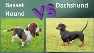 Basset Hound VS Dachshund   Breed Comparison  Dachshund and Basset Hound Differences