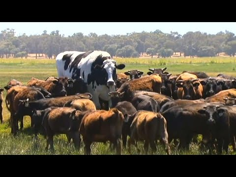 This Enormous 'Giant Cow' in Australia Is Too Big for a Slaughterhouse