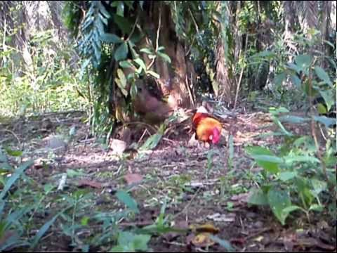 Ayam Hutan Pikat Jantan 4