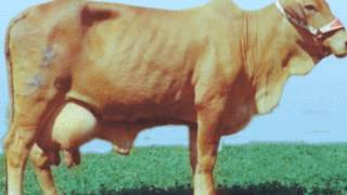 COW BREEDS PAKISTAN AUR DOODH KITNA POTENTIAL ?? DR.ASHRAF SAHIBZADA.wmv
