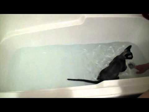 Devon Rex Cat Bath Time