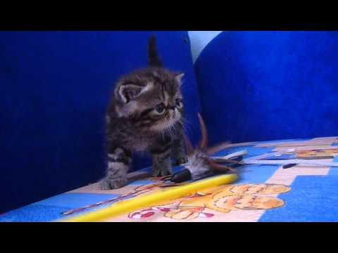 Продажа кошек. В сервисе объявлений olx казахстан легко и быстро можно купить котенка. Заведи друга прямо сейчас!