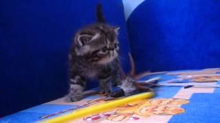 Авито котята экзоты