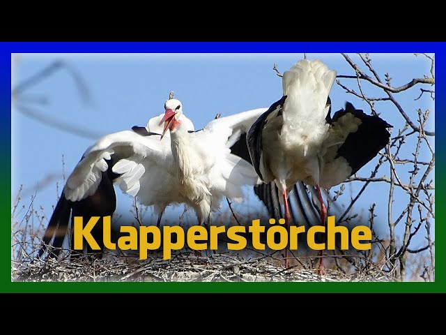 Störche Klappern und Gefiederpflege Weißstorch auf Storchennest doku Storch