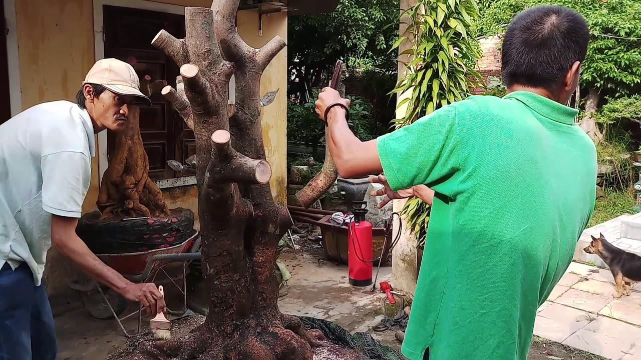 HV 245.phúc ngô tiếp tục phá thế cây thanh mai có bộ đế đẹp.như thế nào các bạn?