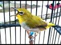Suara burung Pleci ngecer untuk memancing suara