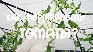Формирование томатов. Помидоры в 2 стебля(Формирование томатов. Помидоры в 2 стебля. Существуют двух- и трехстебельные системы формирования растений...., 2015-06-28T16:00:30.000Z)