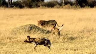 vlc record 2018 08 18 12h11m54s Wild Dogs vs Hyenas   Failure When Wild dogs Want To Seize Territory