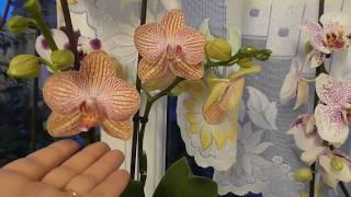 Удивительной красоты орхидеи! МОИ ПРЕКРАСНЫЕ ОРХИДЕИ!
