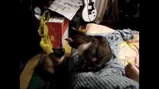 Кошачьи бои без правил..... смотреть коты фото....скачать бесплатно....