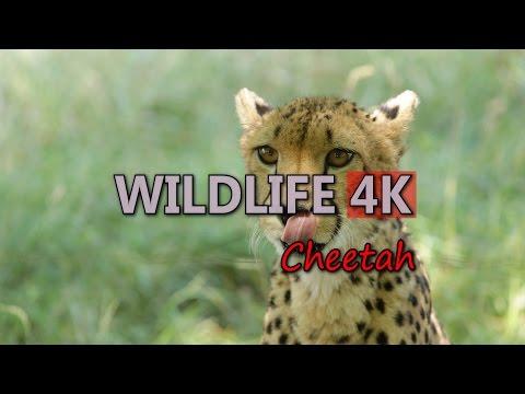 Ultra HD 4K Wildlife Cheetah Cute Cubs Wild Africa Tourism Grassland Travel UHD Video Stock Footage