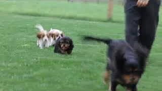 Cavalier King Charles Spaniel Puppies For Sale Sam Blank