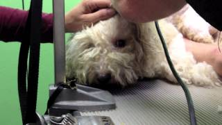 Florida Poodle Rescue's - Parrish Poodles - Sweet As Pralines