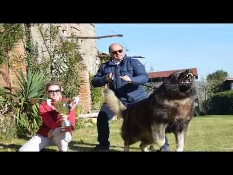 видео кавказские овчарки