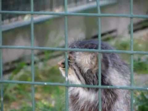 Friendly Manul in Berlin-Friedrichsfelde