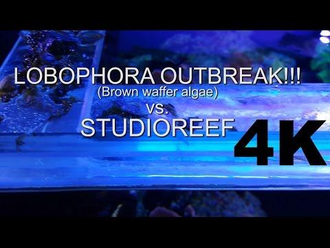 Lobophora Outbreak!! AKA Brown Waffer Algae