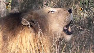 Incredible Sound Of A Male African Lion Roaring #youtubeZA