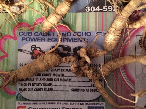 Ginseng hunting: How I clean the roots after harvest