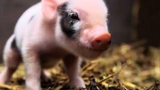 Naissance de bébés cochons nains en direct - ZAPPING SAUVAGE