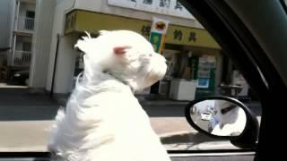 車から顔を出すユキ.