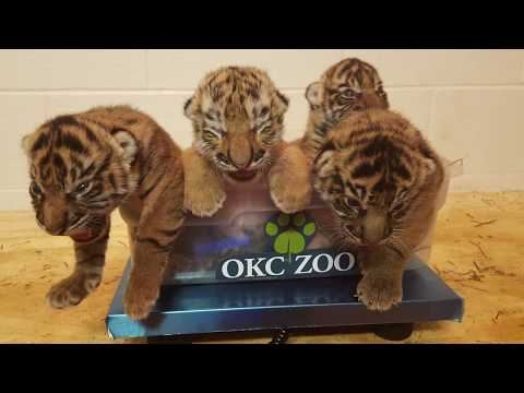 Phila Zoo & OKC Zoo Partner To Save Tiger Cub