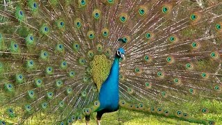 The Most Beautiful Peacock Dance Display Ever - Peacocks Opening Feathers HD & Bird Sound