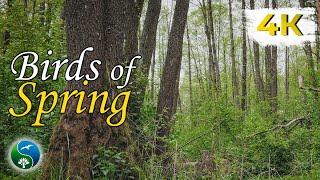 Красивая Природа, Весенний Лес   Пение Птиц, Звуки Природы, Звуки Леса, для Релакса, Сна, Медитации
