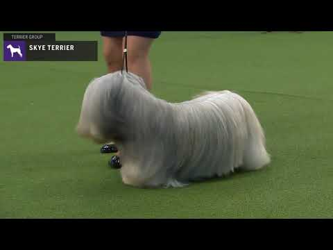 Skye Terriers | Breed Judging 2020