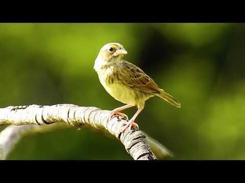 Tico-tico-do-campo, Ammodramus humeralis, Grassland Sparrow, Tico-tico-rato, Granívoros,