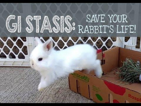 GI Stasis: Save Your Rabbit's Life!