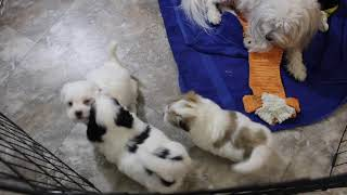 Coton Puppies For Sale - Haylie 12/4/20