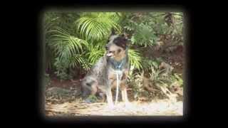 Blue Heeler - Zeus : Alpha Dog Club Adestramento