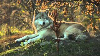 Save our Skins - the Wolf