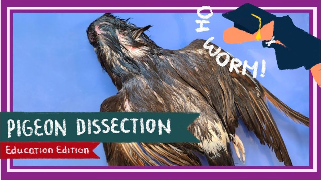 Pigeon Dissection || Birds of a Feather