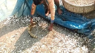 "Collecting 1000 KG country fish ""Puti"" by Village fisherman"