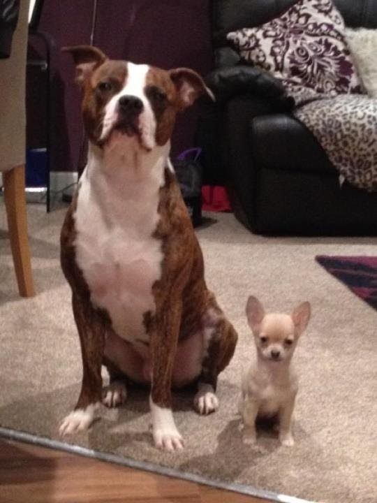 Staffy Cross Boxer And Sister Macy The Chihuahua Youtube